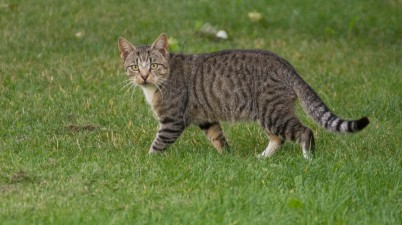 beautiful tabby cat