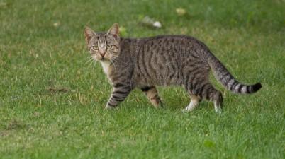 beautiful tabby cat