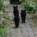 black kitty gang1