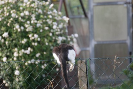 cat jumps over the fence