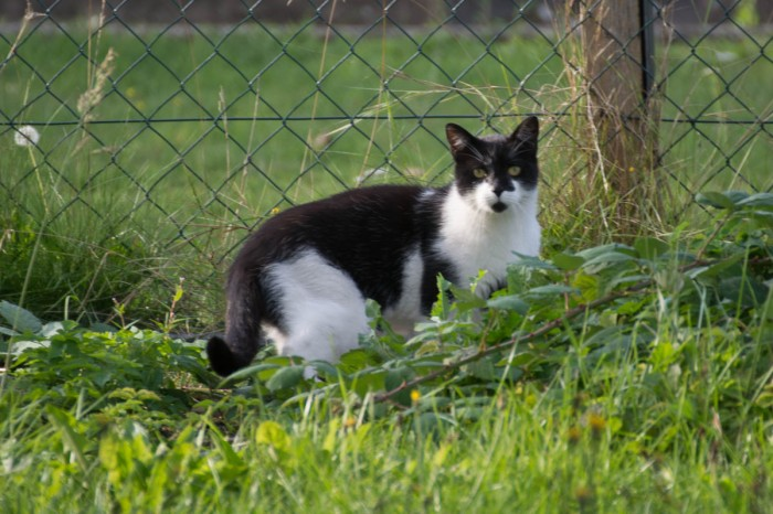 cautious tuxedo cat