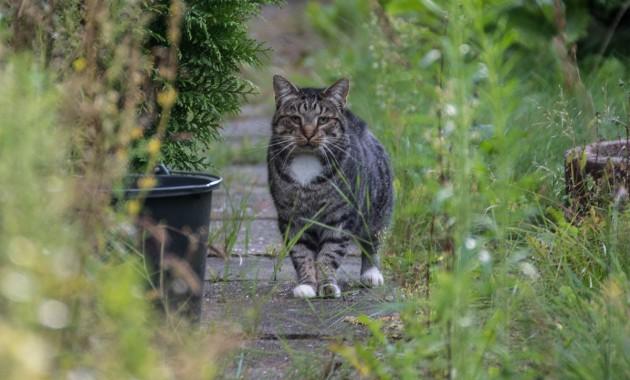 tabby cat looks like a lion