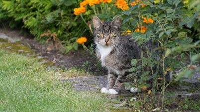 tabby cat near a flowerbed