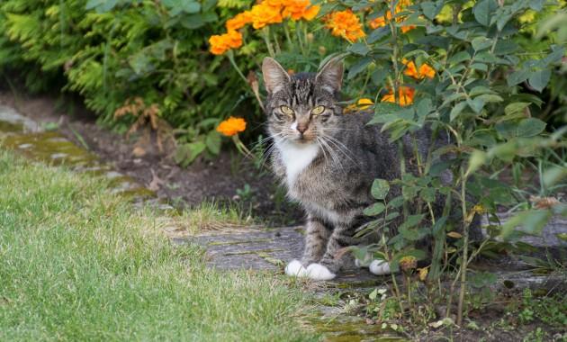 tabby cat near a flowerbed