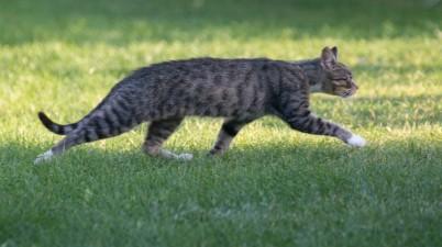 tabby cat running away