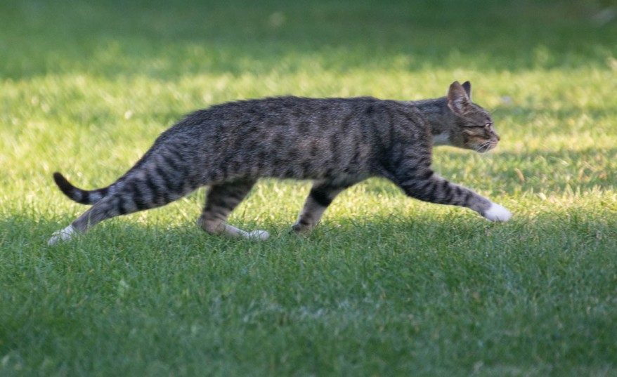 tabby cat running away