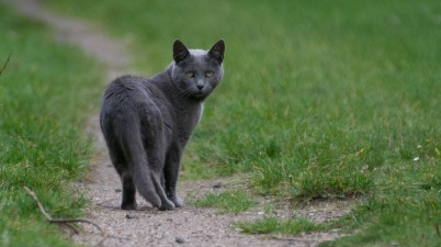 wary gray cat