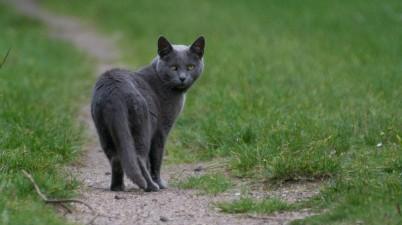 wary gray cat
