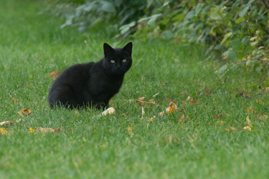 small black cat