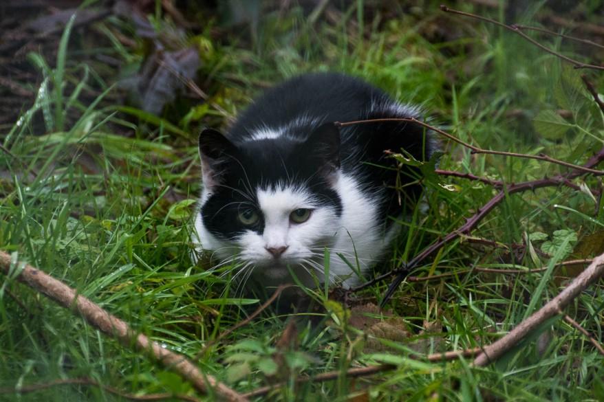 Unimpressed black and white cat