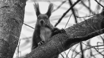 Black and White Squirrel Photo