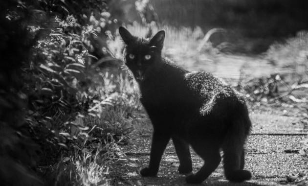 black cat in black and white