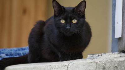 a very beatiful black cat