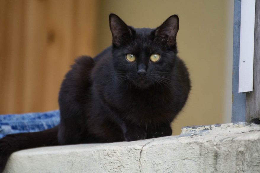 a very beatiful black cat