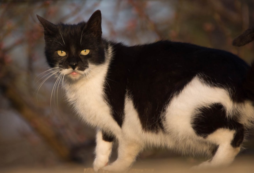 black and white bicolor cat in the garden