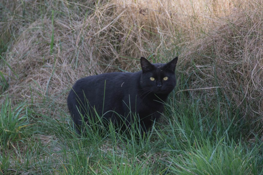 black cat in the field