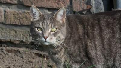 grey outdoor cat