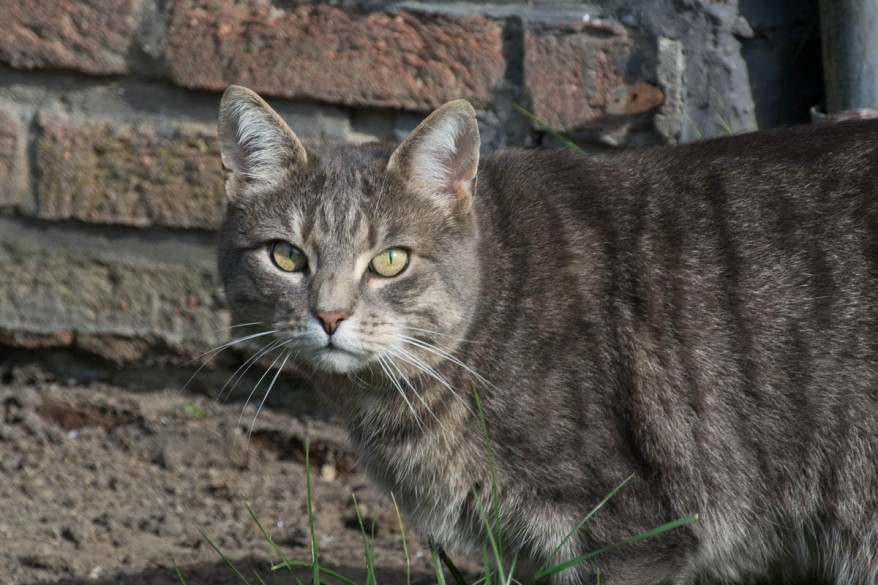 grey outdoor cat