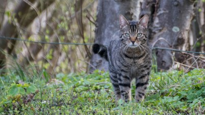 outdoor tabby cat