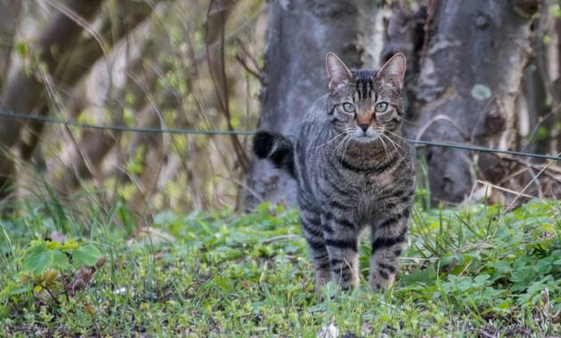 outdoor tabby cat