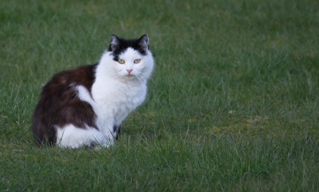 black and white cat sits on the lawn