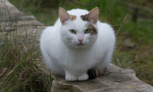 beautiful white cat