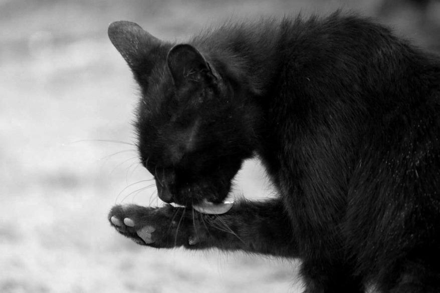 black cat in BW