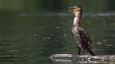 funny cormorant